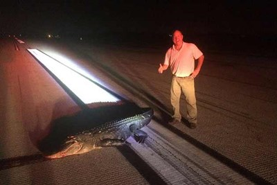 a man stands next to an alligator that was hit by a plane on an airport runway