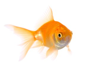 An allergy-friendly goldfish swimming around in a bowl.