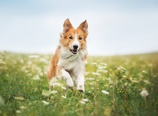 A dog galloping through a field of flowers in the summer.