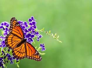 a monarch butterfly sits on purple flowers