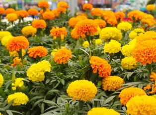 bright orange-yellow marigolds bloom in the sun