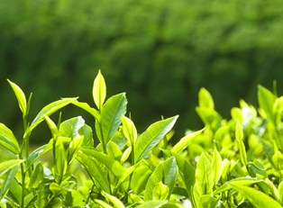 How to Grow Ingredients for a Tea Garden