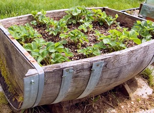 an old oak barrell has been turned into an herb garden