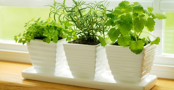 popular herbs growing indoors in pots along the window